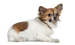 16个奇瓦瓦狗位于的月 库存图片