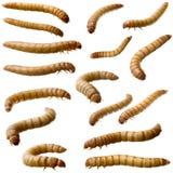16个幼虫粉虫molitor tenebrio 库存图片