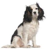 16个骑士查尔斯国王月西班牙猎狗 图库摄影