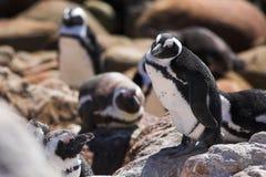 16公驴企鹅 免版税库存照片