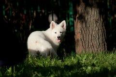 16只狗绵羊瑞士白色 库存图片