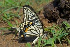 16只蝴蝶papilio xuthus 免版税图库摄影