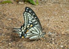 16只蝴蝶papilio xuthus 库存图片