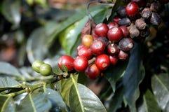 16咖啡危地马拉结构树 免版税图库摄影