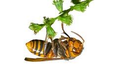 16大黄蜂 免版税库存图片