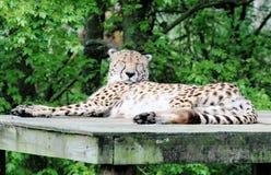 16猎豹 免版税库存照片