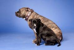 16美国斯塔福郡狗 库存图片