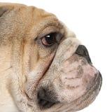16 övre för täta engelska månader för bulldogg gammala Fotografering för Bildbyråer