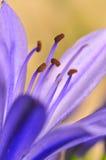 16 серий agapanthus Стоковое Изображение