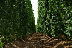 16 хмелей фермы Стоковые Изображения