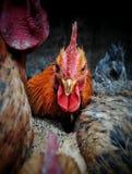 鸡16 免版税图库摄影