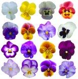 16 flores dos Pansies Imagens de Stock