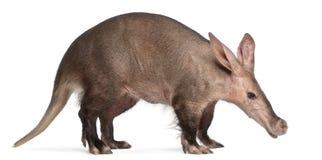 16 gammala orycteropusår för aardvark Arkivfoto