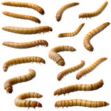 16 Larva of Mealworm - Tenebrio molitor. In front of a white background Stock Image