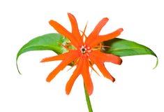 16 lychnis λουλουδιών cognata Στοκ εικόνα με δικαίωμα ελεύθερης χρήσης