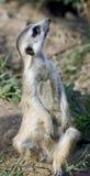 16 meerkat 免版税库存图片
