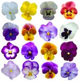 16 Pansies flowers Stock Images