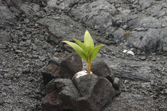 164 Coconut growing in lava rock Royalty Free Stock Image