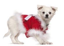 17个奇瓦瓦狗月红色毛线衣 库存图片