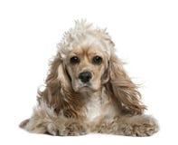17个美国斗鸡家月西班牙猎狗 免版税库存图片