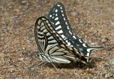 17只蝴蝶papilio xuthus 库存图片