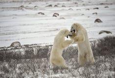 17头熊与极性战斗 库存图片