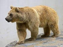 17头熊棕色叙利亚 免版税库存照片