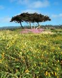 17朵加利福尼亚推进英里蒙特里野花 库存照片