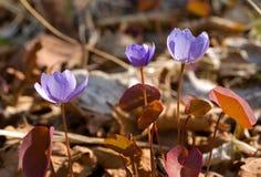 17朵早期的花春天 免版税库存照片