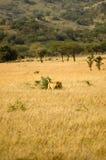 17狮子 免版税库存图片