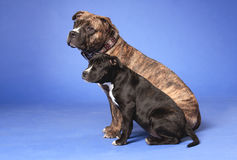17美国斯塔福郡狗 免版税库存照片