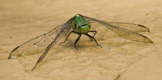 17采取水的蜻蜓 免版税库存照片