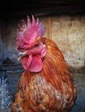 鸡17 库存图片
