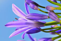 17 agapanthus serii Zdjęcie Royalty Free