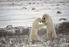 17 björnar slåss polart Fotografering för Bildbyråer
