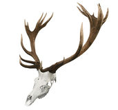 17 Point Mounted Sika Stag Horns. Isolated with clipping path Royalty Free Stock Images