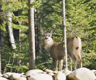 170 cervos que estão na parede Foto de Stock Royalty Free