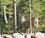 170 ciervos que se colocan en la pared Foto de archivo libre de regalías