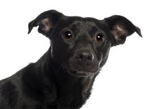 18个品种狗混杂的月纵向 免版税库存照片