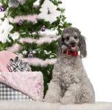 18个圣诞节月长卷毛狗开会 库存图片