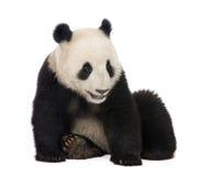 18个大猫熊巨型melanoleuca月熊猫 库存照片