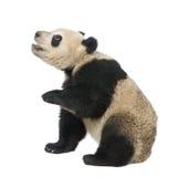18个大猫熊巨型melanoleuca月熊猫 免版税图库摄影