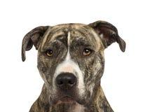 18个美国月斯塔福郡狗 免版税图库摄影