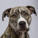 18个美国月斯塔福郡狗 免版税库存图片