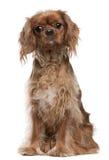 18个骑士查尔斯国王月西班牙猎狗 免版税库存图片