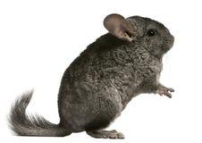 18个黄鼠月坐 免版税图库摄影