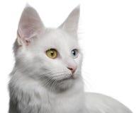 18安哥拉猫接近的月土耳其 库存照片