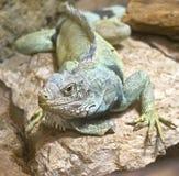 18鬣鳞蜥 免版税库存图片