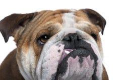 18 övre för täta engelska månader för bulldogg gammala Royaltyfri Bild