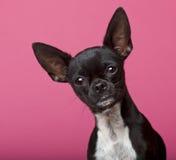 18 στενά μηνών chihuahua επάνω Στοκ Εικόνες